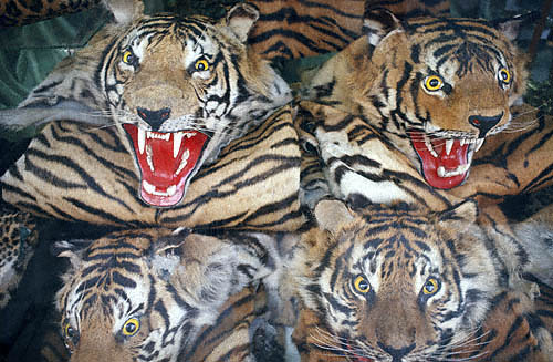 John Whisson: Tiger skins