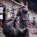 Pig being weighed for market